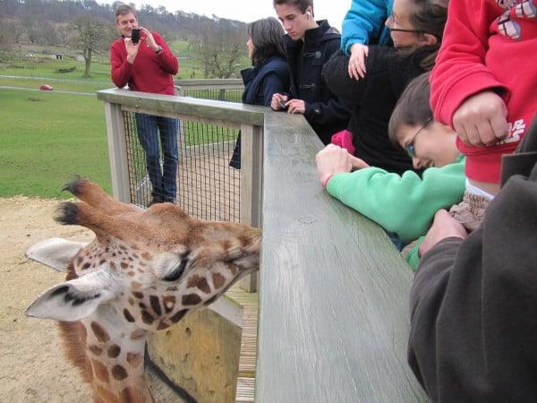 Friendly Giraffe at Longleat