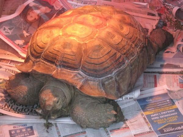 Longleat review - Giant tortoise