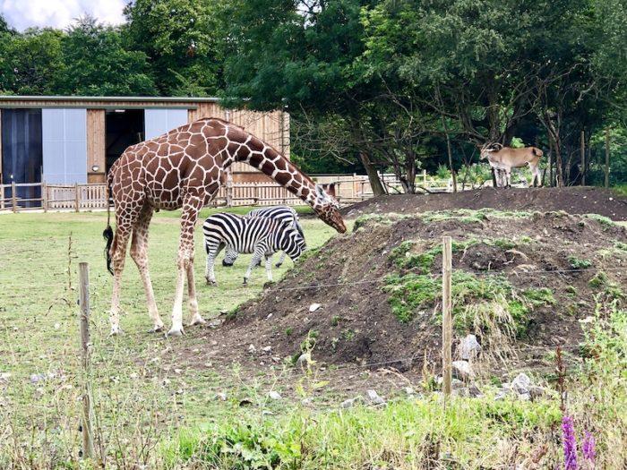 Giraffe, zebra and antelope at Wild Place Project, Bristol