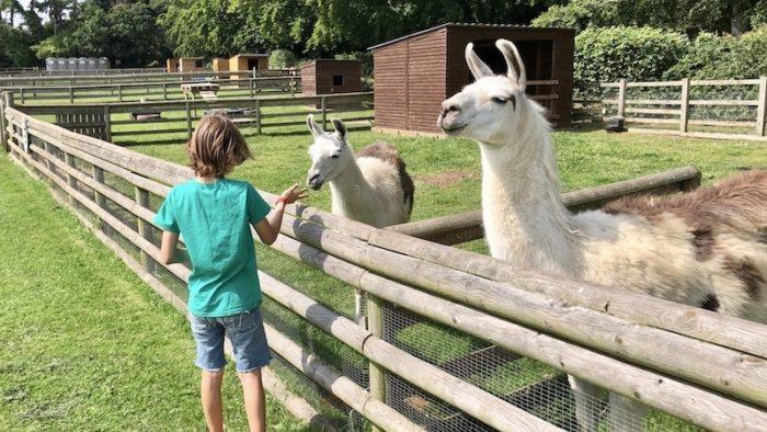 Llamas at Old Down Country Park